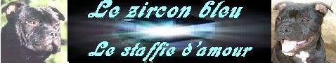 les staffies du zircon bleu