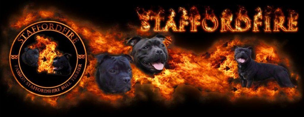 Staffordfire – Elevage de Staffordshire Bull Terrier (Staffie) à Lyon (Rhone-Alpes)